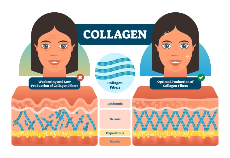 Collagen Vector Illustration. Medical And Anatomical Labeled Sch