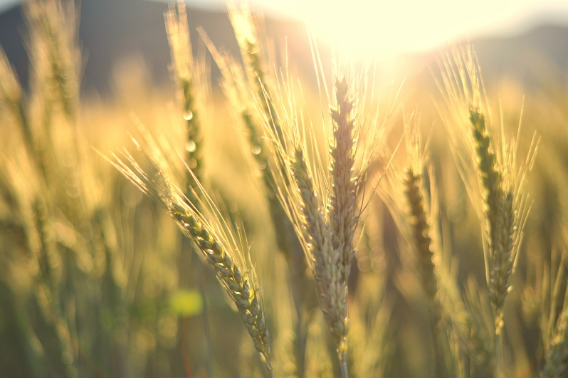 022_bigstock-Sunset-Over-Wheat-Field-37918846_wheat_bran