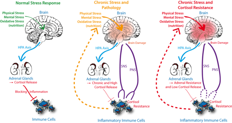 Role-of-stress-induced-activation-of-HPA-axis-cortisol-and-sympathetic-nervous-system.png